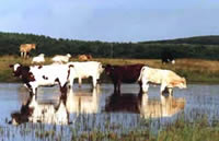 Irish cows sligo heritage ireland
